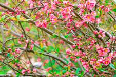 Oriental Cherry Stock Photo