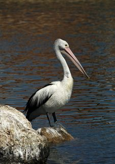 Free Australian Pelican Royalty Free Stock Image - 15941346