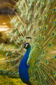 Free Peacock Royalty Free Stock Photos - 15942158