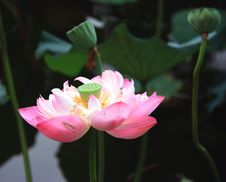 Free Lotus Flower Stock Photography - 15942412