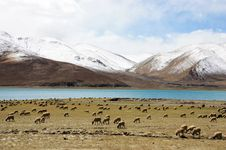 Free Sheeps On Lake And Snow Mountain Royalty Free Stock Image - 15942426