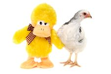 Free Chicken And Toy Duck Royalty Free Stock Photos - 15943438