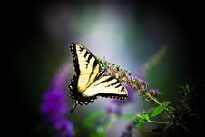 Free Tiger Swallowtail Butterfly Royalty Free Stock Images - 15943959
