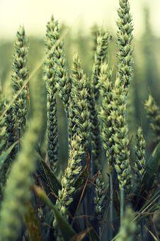 Free Fresh Wheat Royalty Free Stock Photos - 15948028