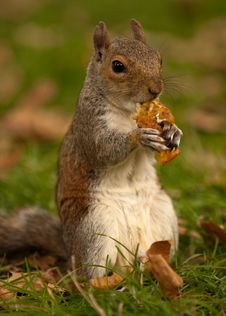 Squirrel Eating An Apple Core Stock Photography