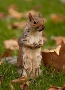 Free Squirrel On Hind Legs Stock Image - 15948761
