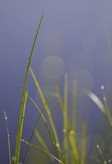 Free Shallow Grass Plant Royalty Free Stock Photo - 15948795
