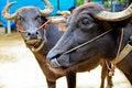Free Buffalo Royalty Free Stock Images - 15958309