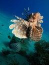 Free Lionfish Stock Photography - 15958382