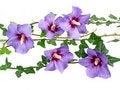 Free Hibiscus Flowers Stock Image - 15959121