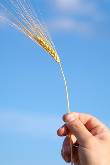 Free Wheat Ear In The Hand Stock Photography - 15950672