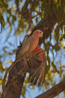 Free Galah Parrot, Australia Stock Image - 15951911