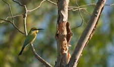 Free Bee Eater Royalty Free Stock Photos - 15951918