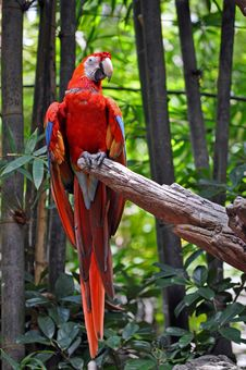 Free Bright Red Parrot Royalty Free Stock Image - 15952276