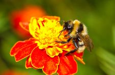 Bumblebee On Red Flower Royalty Free Stock Images