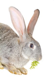 Gray Rabbit Eating The Carrot Leaves Royalty Free Stock Images