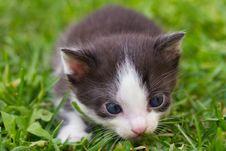 Free Black And White Kitten Royalty Free Stock Photos - 15953308