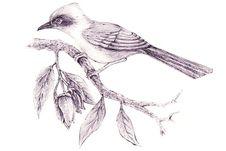 Asian Bird (Nok Hua Jook) Stock Photo