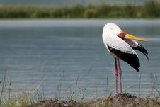 Free Yellow-billed Stalk Grooming Royalty Free Stock Photography - 15954577