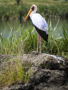 Free Yellow-billed Stork Stock Photography - 15954632