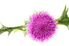 Free Single Thistle Flower Isolated Royalty Free Stock Photo - 15955985