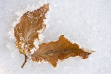 Free Frozen Winter Leaves Royalty Free Stock Photos - 15956268