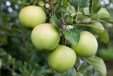 Free Green Apple. Close Up. Stock Photo - 15956520