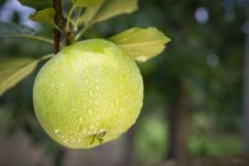 Free Green Apple. Close Up. Royalty Free Stock Photography - 15956537