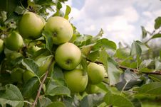 Free Green Apple. Close Up. Royalty Free Stock Photo - 15956545