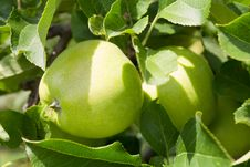 Free Green Apple. Close Up. Royalty Free Stock Photo - 15956555