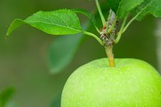 Free Green Apple. Close Up. Stock Image - 15956631