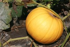 Free Organic Pumpkin Stock Photography - 15957352