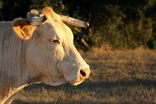 Free Cow Stock Photos - 15957473