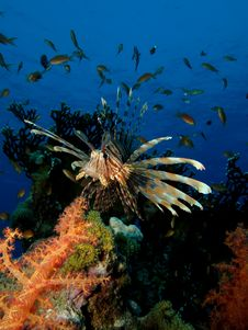 Free Lionfish Royalty Free Stock Image - 15957506