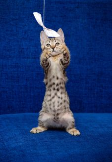Free The Small Kitten Plays A Dark Blue Background Stock Photo - 15958410