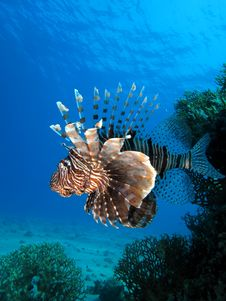 Free Lionfish Stock Images - 15958514