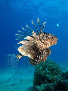 Free Lionfish Royalty Free Stock Image - 15958726