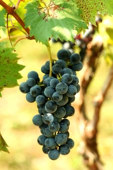 Free A Bunch Of Grapes Stock Photos - 15958743