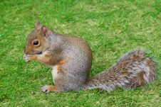 Free Squirrel In Grass Royalty Free Stock Image - 15959246