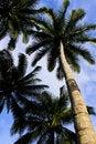 Free Coconuts Tree Stock Photo - 15961990