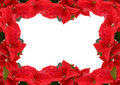 Free Red Poinsettia Royalty Free Stock Images - 15962609