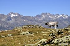 Free Cows In Alps Royalty Free Stock Photos - 15960408