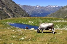 Free Cows In Alps Stock Photo - 15960450