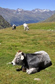 Free Cows In Alps Stock Photography - 15960602
