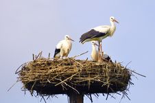 Free Young Storks Royalty Free Stock Photos - 15961418