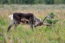 Caribou Trophy Royalty Free Stock Images