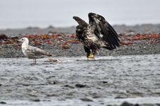 Free Bald Eagle Royalty Free Stock Photo - 15962485