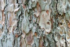 Free Bark Of A Pine, Close-up Stock Photos - 15962533