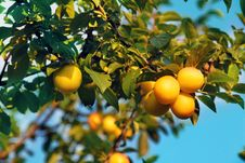 Free Yellow Plums Royalty Free Stock Photo - 15962655