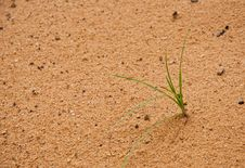 Free One Grass Born The Sand Stock Images - 15962954